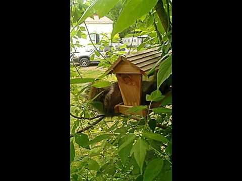 Copy of Squirrel in my bird feeder