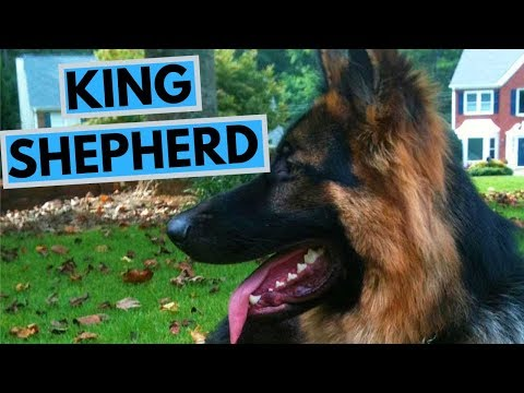 king-shepherd-dog-breed---facts-and-information