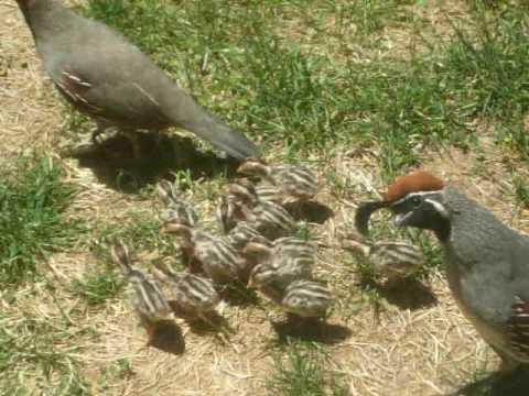 backyard quail youtube