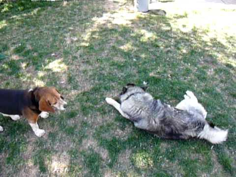 playing keep away from the beagle