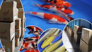 Arrival Of New Koi Fish   Koi Shipment From Japan