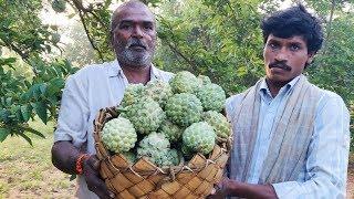 Grandpa's Custard Apple Farm and Fresh Fruits Eating in my village   Village Vlogs