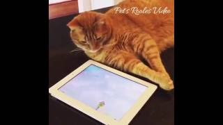 Cats playing with tablet. Кошки играют с планшетом))