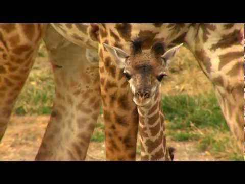 Thumbnail: Baby Giraffe Lulu Outside - Cincinnati Zoo
