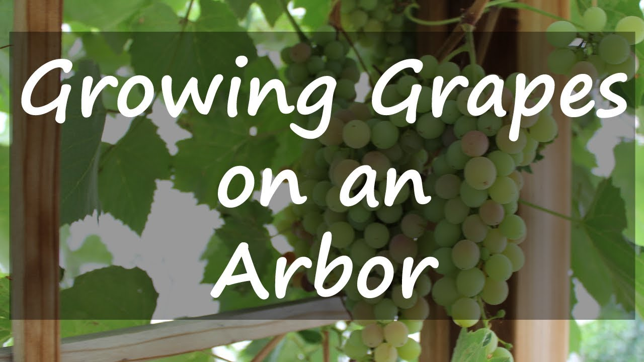 Growing Grapes On An Arbor Youtube