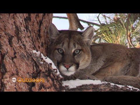 Utah Mountain Lion Hunt