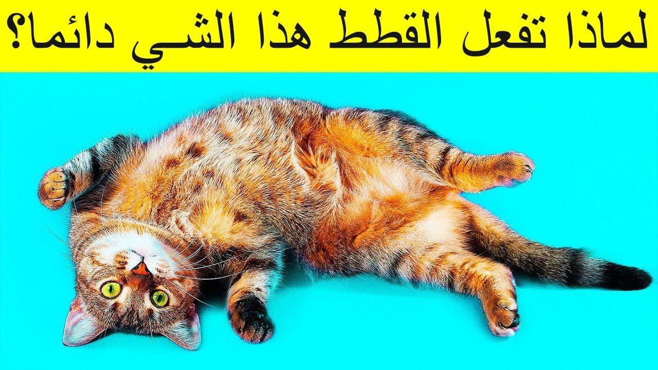 لماذا تنام القطط بهذا الشكل عندما ترى صاحبها Youtube