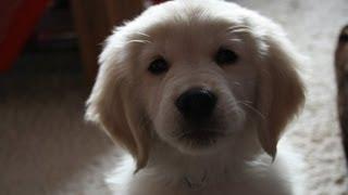 Golden Retriever Puppy 8 Weeks Old -  Die Ersten Tage Mit Henry