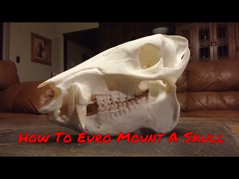 How to do a European Skull Mount