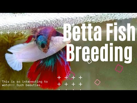 Betta Fish Breeding 4K VIDEO