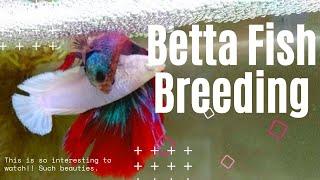 betta fish breeding 4K VIDEO