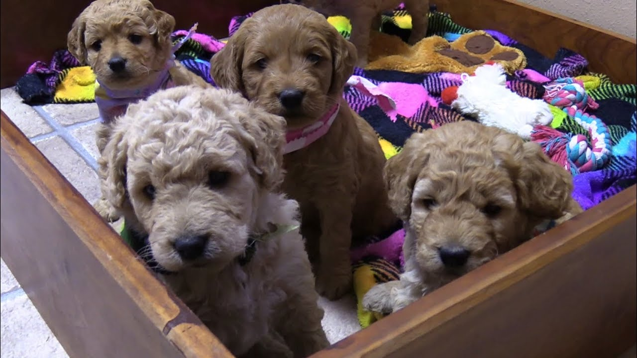 Lacey's F2b Mini Goldendoodle Puppies on 10/5/2017