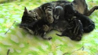 Кошка умывает котят.MTS