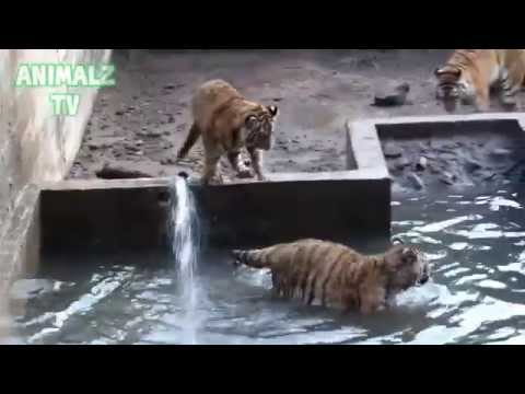 Funny Tiger Cubs Having Bath in Zoo [NEW HD VIDEO]