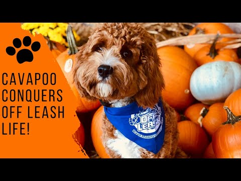 Knoxville Dog Trainers - 9 Month Old Cavapoo Conquers Off Leash Life!
