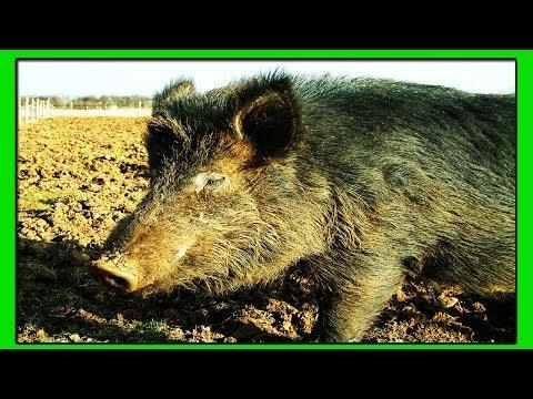 Свинья Кармал-Гибрид Вьетнамской Вислобрюхой Свиньи, Мангалицы и Корейской травоядной.