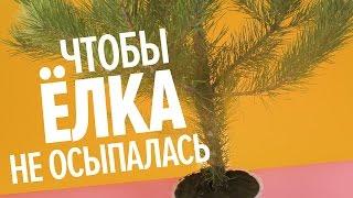 видео Натуральная новогодняя ёлка: как выбрать и продлить срок жизни?
