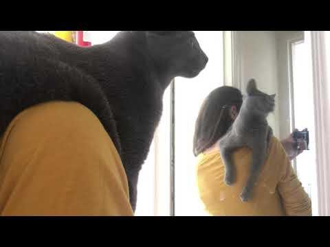 """Russian Blue Lena Lena is a """"shoulder cat"""""""