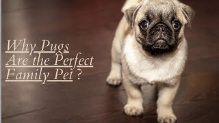 The Pug   Guide To The Best Toy Breed    Pug Dog Breed Information.