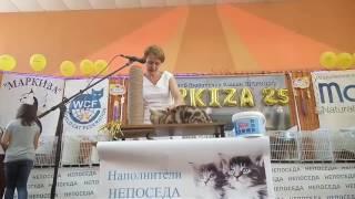 Британский кот Daddy Bear of Anima-ART. WCF-ринг у Рогачевой-Кузако. Смоленск 5-6 августа 2017