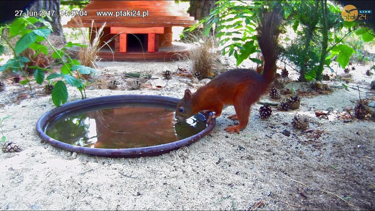 Wiewiórka pije wodę z poidełka przed domkiem dla jeży