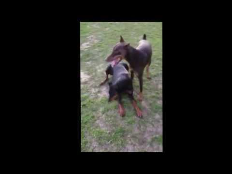 Doberman Pinschers Playing Catch Outside Fun Dogs
