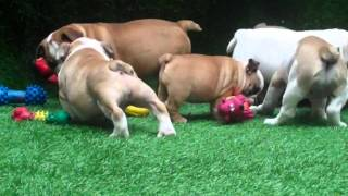 Available Miniature English Bulldog Puppies For Sale