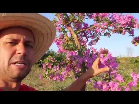 Como fazer um bonsai de Bougainville