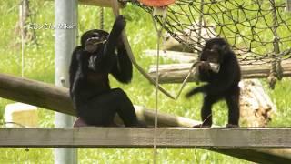 多摩動物公園 チンパンジー 2017年7月末撮影 Chimps at Tama Zoological...