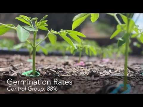 Growing Moringa: Intensive Moringa Cultivation - Day 16 Update