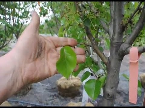 Cleveland Pear Trees For Flemington Nd Sommerville Nj Areas Youtube