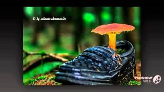 Coccidioides immitis - fungi kingdom