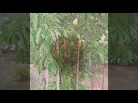 Graine Bleue 4 GRAINES SEEDS Elaeocarpus angustifolius Shiva/'s tear Rudraksha