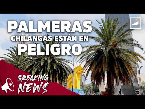 Las palmeras chilangas están en peligro 😢 | CHILANGO