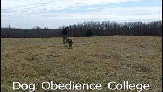 Bear Dog Training School Cordova Dog Obedience College