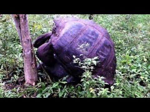 Giant Tortoises knock over tree with their enthusiasm