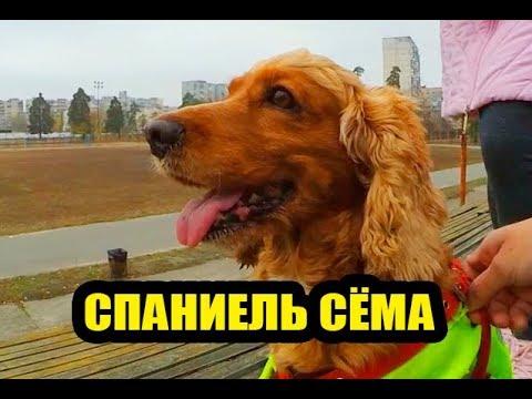 Собачий ВЛОГ: Каково быть хозяином спаниеля Семы?