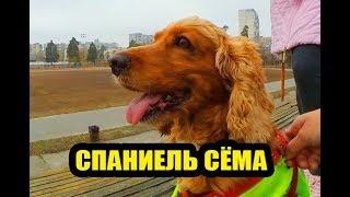 Собачий ВЛОГ: Какого быть хозяином спаниеля Семы?