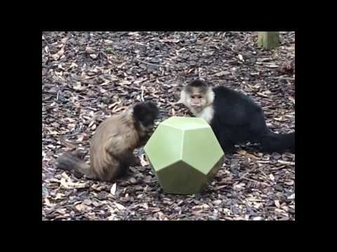 Capuchins, Joshua and Sister with forage ball - Noah's Ark Animal Sanctuary