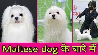 maltese dog details| Maltese dog food | Maltese dog diet | Puppy dog diet list | Maltese dog history