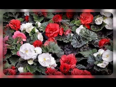 Почему у махровой бегонии образуются не махровые цветы?