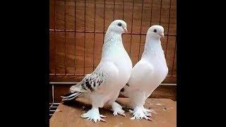 Gambar cover Mardin OYUN ve KOSTÜM Kuşları Sergisi, Taklacı Güvercinler,Pigeon, Rолубиный, حمامة, कबूतर, göyərçin
