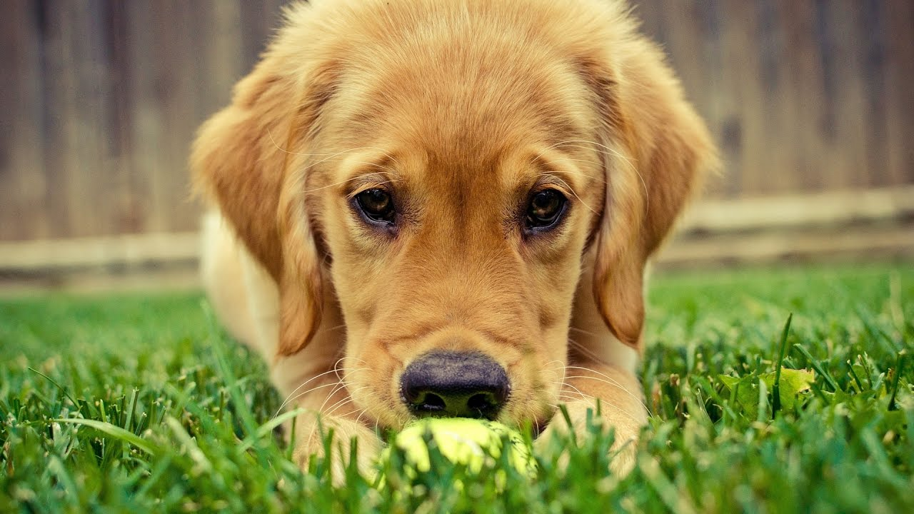 Cute Golden Retriever Videos Compilation 2017 Pets Of Instagram New Youtube