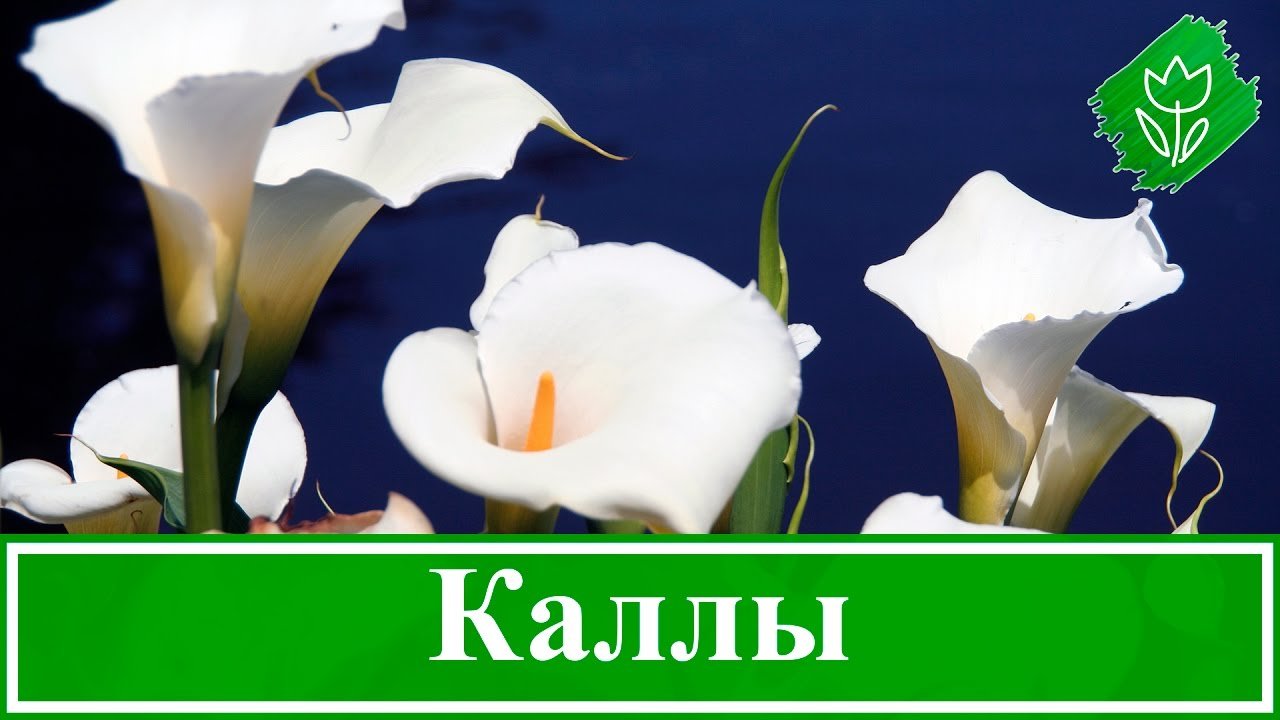 Каллы – посадка и уход, выращивание в саду и дома