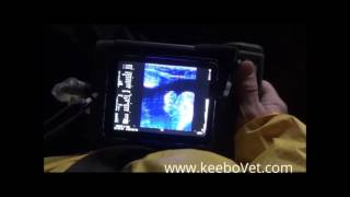 Ultrasound Scanner RKU-10 Able to Diagnose a Cow That Is 98 Days Pregnant