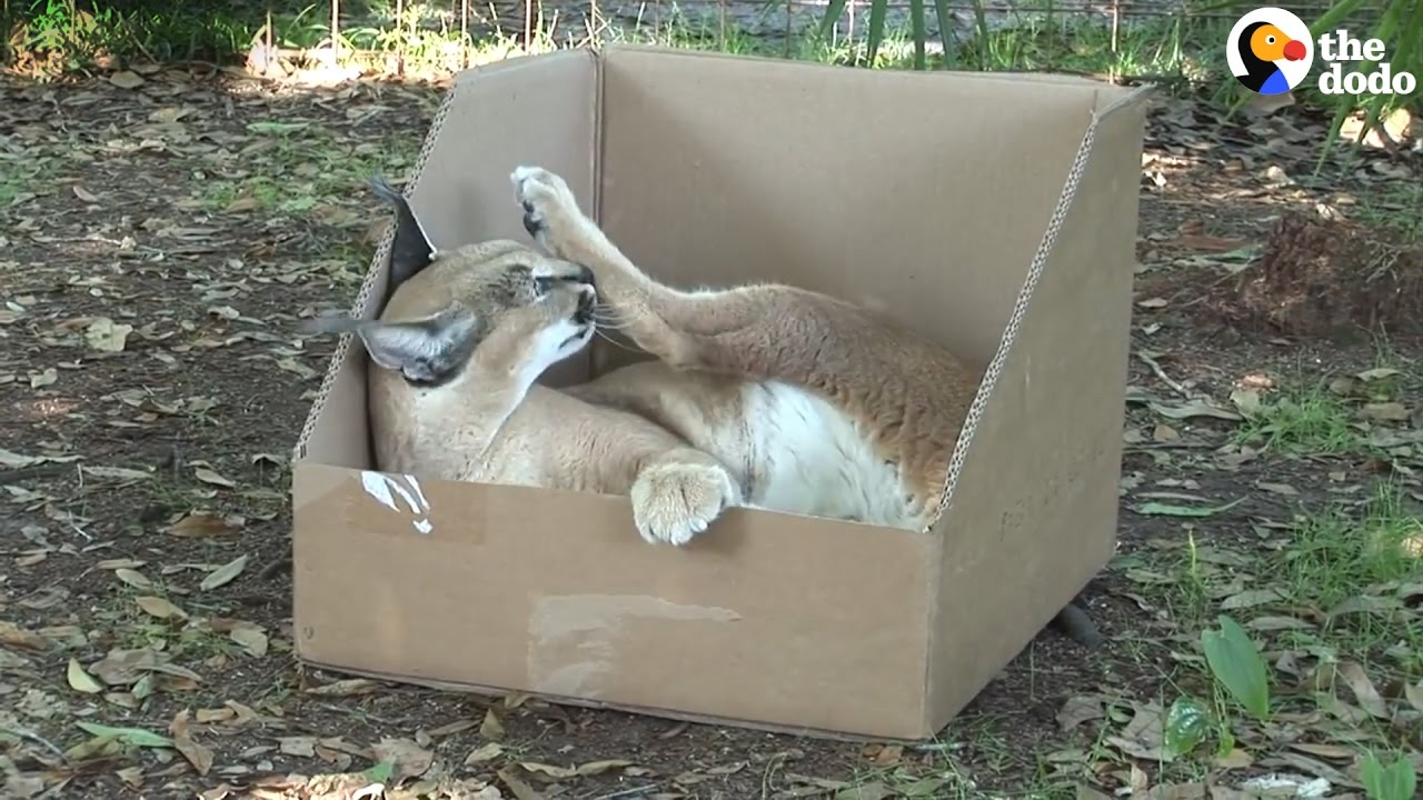 Big Cats Play With Boxes And They Love Them The Dodo