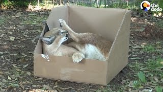 Big Cats Play With Boxes — And They Love Them | The Dodo
