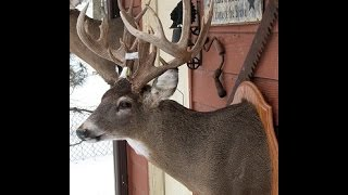 LARGE GAME TAXIDERMY - DEER - Video 6 of 16 - EARS