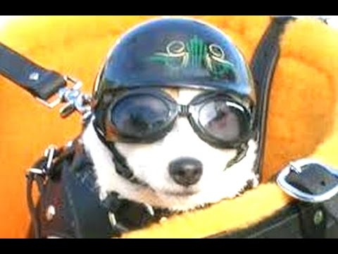 Funny Dogs Riding On Motorcycles Compilation 2014 [NEW]