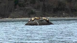 Steller sea lions located on Craven Rock near Marrowstone Island